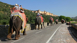Domesticated Indian elephants (Elephas maximus) with mahouts carrying tourists along a road towards the Amber Fort, near Jaipur, Rajasthan, India, 2011.  -  Gavin Hellier