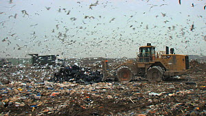 Panning shot across a landfill site with working machinery and mixed flock of Gulls (Larus sp.) and Common starlings (Sturnus vulgaris) flying overhead, Pitsea, Essex, England, UK, November 2011.  -  Will  Bolton / 2020VISION