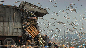Truck dumping rubbish at landfill site with mixed flock of Gulls (Larus sp.) flying overhead, Pitsea, Essex, England, UK, November 2011. - Will  Bolton / 2020VISION
