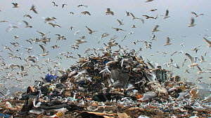 Mixed flock of Gulls (Larus sp.) flying over and scavenging on a pile of rubbish on a landfill site, Pitsea, Essex, England, UK, November 2011. - Will  Bolton / 2020VISION