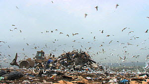 Mixed flock of Gulls (Larus sp.) flying over and scavenging on a pile of rubbish on a landfill site, with machinery moving in the background, Pitsea, Essex, England, UK, November 2011.  -  Will  Bolton / 2020VISION