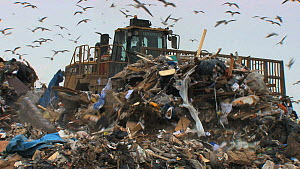 Machinery working on a landfill site with mixed flock of Gulls (Larus sp.) flying overhead, Pitsea, Essex, England, UK, November 2011.  -  Will  Bolton / 2020VISION