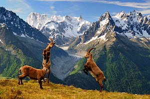 Ibex (Capra Ibex) fighting, Aiguilles Rouges National Nature Reserve, Haute-Savoie, France, June - Benjamin Barthelemy,Benjamin  Barthelemy