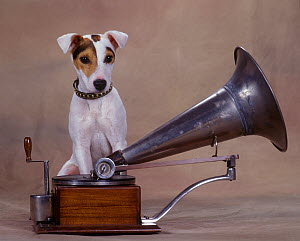 Jack Russell Terrier sitting on old gramophone  -  Yves Lanceau