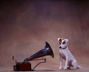 Jack Russell Terrier staring into gramophone  -  Yves Lanceau