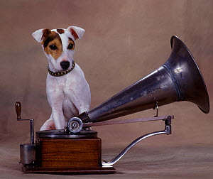 Jack Russell Terrier standing on old gramophone  -  Yves Lanceau
