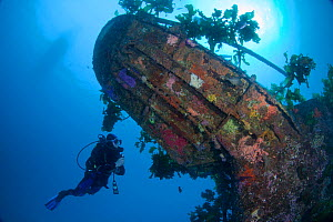 Diver exploring the wreck of HMNZS Canterbury, Bay of Islands, New Zealand, January 2013  -  Sue Daly