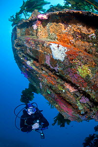 Diver exploring the wreck of HMNZS Canterbury, Bay of Islands, New Zealand, January 2013. Model released.  -  Sue Daly