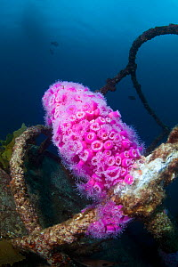 Jewel Anemones (Corynactis haddoni) colonising the wreck of HMNZS Canterbury, Bay of Islands, New Zealand, February  -  Sue Daly