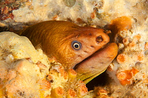 Yellow Moray Eel (Gymnothorax prasinus) with head poking out of hole, Poor Knights Islands, New Zealand, January  -  Sue Daly