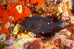 Demoiselle (Chromis dispilus) Poor Knights Islands, New Zealand, January - Sue Daly