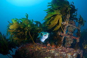 Long-spined porcupinefish (Diodon holocanthus) on wreck of the Rainbow Warrior, Cavalli Islands, New Zealand, February  -  Sue Daly