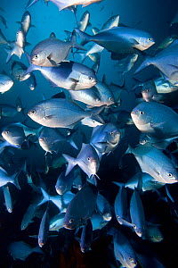 Blue Maomao (Scorpis violaceus) shoal, Poor Knights Islands, New Zealand, February - Sue Daly,Sue Daly