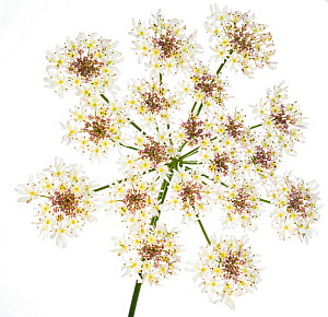 Hogweed (Heracleum sphondylium) flower head against white background. Scotland, UK, August.  -  Niall Benvie,Niall Benvie