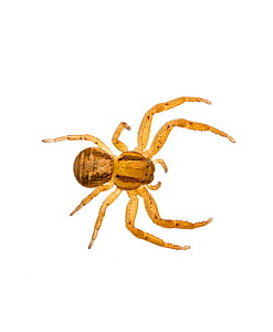 Crab spider (Xysticus cristatus) on white background. Inverness-shire, Scotland, February.  -  Niall Benvie