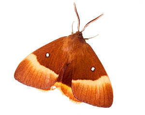 Oak Eggar Moth (Lasiocampa quercus) against white background. France, July.  -  Niall Benvie,Niall Benvie