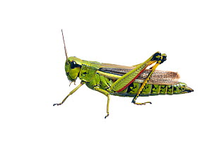 Large Marsh Grasshopper (Stethophyma grossum) against white background. France, August.  -  Niall Benvie,Niall Benvie