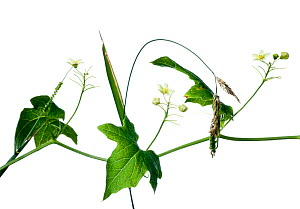 White Bryony (Bryonia dioica) against white background. France, August.  -  Niall Benvie