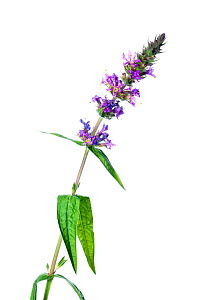 Purple Loosestrife (Lythrum salicaria) in flower against white background. France, August.  -  Niall Benvie