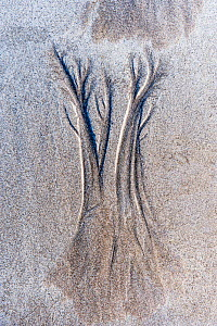 Dendritic drainage patterns eroded into sand. Isle of Coll, Scotland, October 2012.  -  Niall Benvie,Niall Benvie
