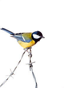 Great Tit (Parus major) on barbed wire (field studio). Scotland, December.  -  Niall Benvie,Niall Benvie