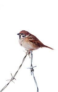 Tree Sparrow (Passer montanus) on barbed wire, against white background (field studio). Scotland, January. - Niall Benvie,Niall Benvie