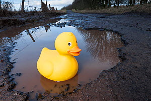 Plastic duck in large pothole. Near Bridge of Dun, Angus, Scotland, December. (This image may be licensed either as rights managed or royalty free.)  -  Niall Benvie