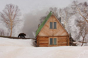 Ranger station in winter with Kamchatka Brown Bear (Ursus arctos beringianus), Kronotsky Zapovednik Nature Reserve, Kamchatka Peninsula, Russian Far East, June. Sequence 3 of 3.  -  Igor Shpilenok,Igor  Shpilenok