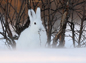 Mountain Hare (Lepus timidus) feeding. Kronotsky Zapovednik Nature Reserve, Kamchatka Peninsula, Russian Far East, March. - Igor  Shpilenok