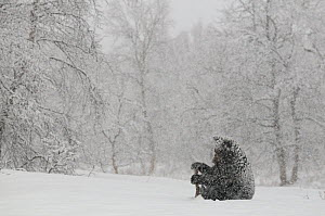 Kamchatka Brown Bear (Ursus arctos beringianus) sitting in heavy snowfall. Kronotsky Zapovednik Nature Reserve, Kamchatka Peninsula, Russian Far East, December. - Igor Shpilenok,Igor  Shpilenok