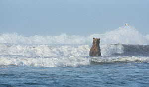 A Kamchatka Brown Bear (Ursus arctos beringianus) standing in breaking waves. Pacific coast of Kronotsky Zapovednik Nature Reserve, Kamchatka Peninsula, Russian Far East, July.  -  Igor Shpilenok,Igor  Shpilenok