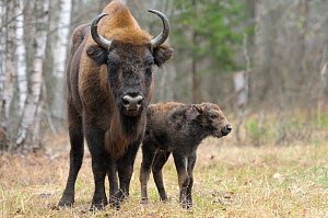 European Bison (Bison bonasus) calf and mother portrait. 'Mefody', first calf born to reintroduced herd in Bryansk Forest. Bryansk Forest Zapovednik, Kamchatka, Russian Far East, May.  -  Igor  Shpilenok