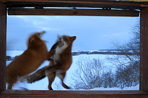 Red Foxes (Vulpes vulpes) fighting outside ranger cabin window. Kronotsky Zapovednik Nature Reserve, Kamchatka Peninsula, Russian Far East, February.  -  Igor Shpilenok,Igor  Shpilenok