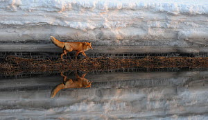 Red Fox (Vulpes vulpes) and snow bank reflected in river. Kronotsky Zapovednik Nature Reserve, Kamchatka Peninsula, Russian Far East, February. - Igor Shpilenok,Igor  Shpilenok