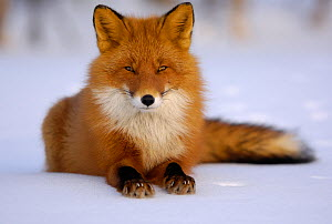 Red Fox (Vulpes vulpes) portrait, resting on snow. Kronotsky Zapovednik Nature Reserve, Kamchatka Peninsula, Russian Far East, March.  -  Igor  Shpilenok