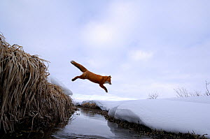 Red Fox (Vulpes vulpes) jumping across stream. Kronotsky Zapovednik Nature Reserve, Kamchatka Peninsula, Russian Far East, March.  -  Igor Shpilenok,Igor  Shpilenok