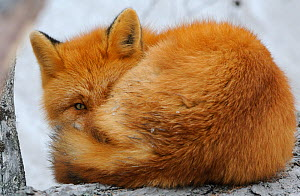 Red Fox (Vulpes vulpes) curled up, with an eye open. Kronotsky Zapovednik Nature Reserve, Kamchatka Peninsula, Russian Far East, March.  -  Igor  Shpilenok