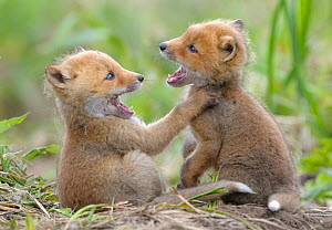 Red Foxes (Vulpes vulpes) young play fighting. Kronotsky Zapovednik Nature Reserve, Kamchatka Peninsula, Russian Far East, July.  -  Igor  Shpilenok