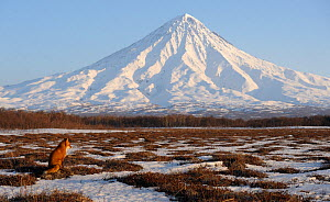 Red Fox (Vulpes vulpes) in wide landscape with Kronotsky Volcano on the horizon. Kronotsky Zapovednik Nature Reserve, Kamchatka Peninsula, Russian Far East, March. - Igor  Shpilenok