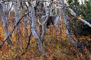 Reindeer (Rangifer tarandus) female in Erman birch forest. Kronotsky Zapovednik Nature Reserve, Kamchatka Peninsula, Russian Far East, July.  -  Igor Shpilenok