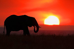 African Elephant (Loxodonta africana) silhoutted against setting sun. Maasai Mara, Kenya, Africa, August. - Andy  Rouse