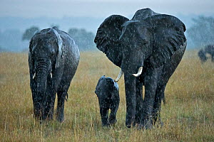 African Elephant (Loxodonta africana) breeding herd in rainstorm during migration. Maasai Mara, Kenya, Africa, August.  -  Andy Rouse,Andy  Rouse
