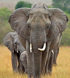 African Elephant (Loxodonta africana) breeding herd led by matriarch. Maasai Mara, Kenya, Africa, August. - Andy Rouse,Andy  Rouse