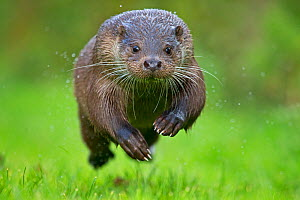 European Otter (Lutra lutra) running. Controlled conditions. Sussex, UK, October. - Andy Rouse,Andy  Rouse