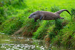 European Otter (Lutra lutra) jumping from bank into water. Controlled conditions. UK, October. - Andy  Rouse
