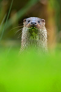 European Otter (Lutra lutra) portrait. Controlled conditions. UK, October. - Andy  Rouse