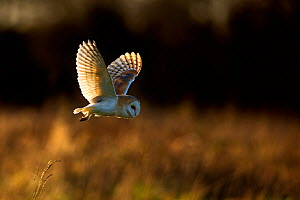 Barn Owl (Tyto alba) in flight. UK, Europe. - Andy  Rouse