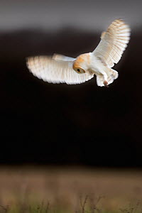 Barn Owl (Tyto alba) in hovering hunting flight. UK, February.  -  Andy Rouse,Andy  Rouse