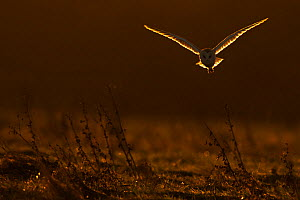 Barn Owl (Tyto alba) in flight in dawn light. UK, Europe. - Andy  Rouse