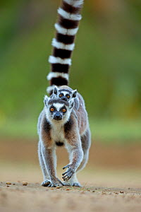 Ring tailed Lemur (Lemur catta) mother carrying baby on back. Madagascar.  -  Andy Rouse,Andy  Rouse